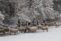 Una gran nevada y las ovejas
