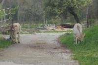Los terneros pequeños pasean